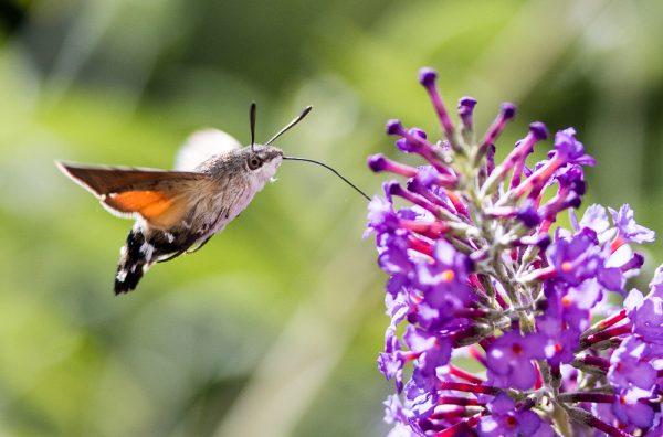 Kein Kolibri, sondern ein Taubenschwänzchen. Eine von geschätzten 4–6 Millionen Insektenarten. Testen Sie Ihr Wissen im Insekten-Quiz. © Andreas Werle [CC-BY-SA-2.0], via Wikimedia Commons