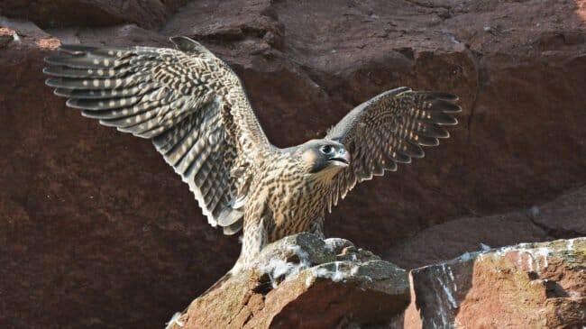 Ziel des Angriffs waren Greifvögel wie der Wanderfalke. © Martin Becker, BirdLife Schweiz