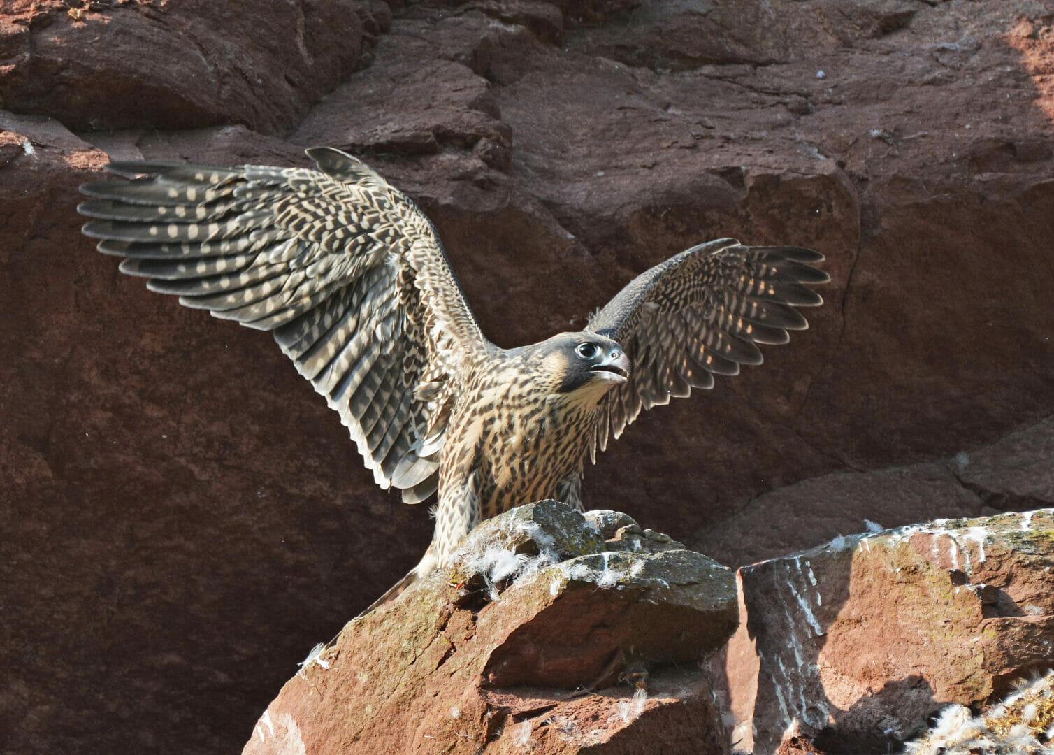 Wilderer wolten Greifvögel, wie dieser junge Wanderfalke, töten.