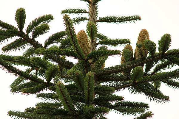 Quiz - Bäume und ihre Früchte 10