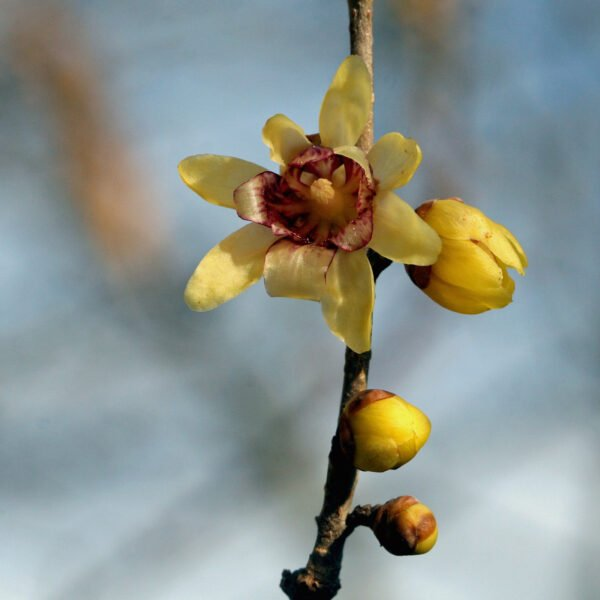Knospe und offene gelbe Blüte einer Winterblüte.