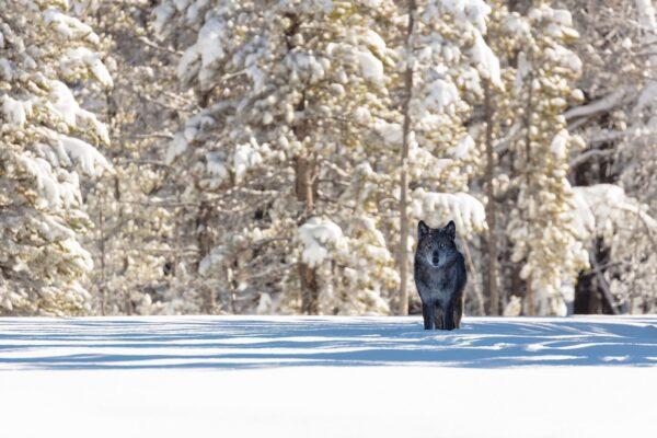Raubtier, ein Wolf, steht in verschneiter Landschaft.