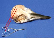Das herzförmige Zungenbein umschliesst den Schädel und hält ihn fest am Platz. | © Wang et al., PLoS One doi