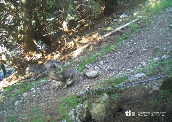 Wolf-Nachwuchs ist in eine Fotofalle getappt.