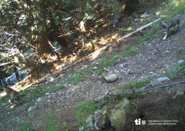 Jungtiere des Wolfes sind in eine Fotofalle getappt.