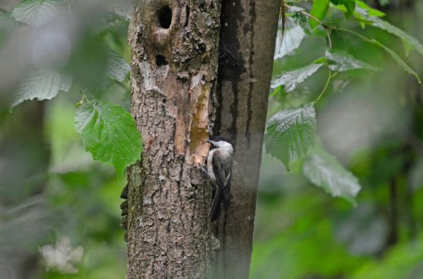 Die Weidenmeise an der Bruthöhle füttert ihre Jungen. © VVS/BirdLife Solothurn
