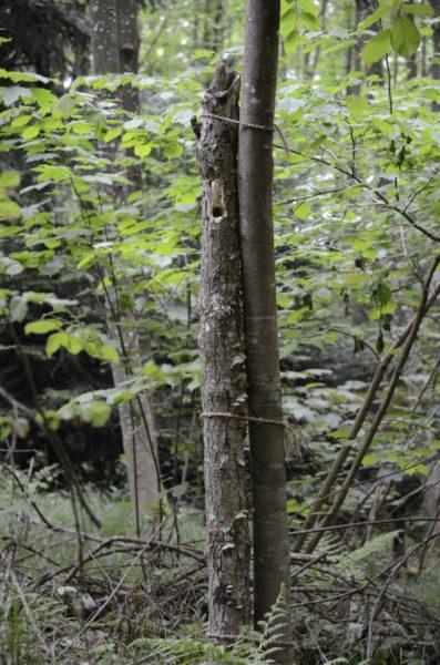 Der «künstliche» Totholzbaum: Ein liegender toter Stamm wurde an einen lebenden Baum gebunden. Zu sehen ist auch die Bruthöhle des Weidenmeisen-Paars. © VVS/BirdLife Solothurn