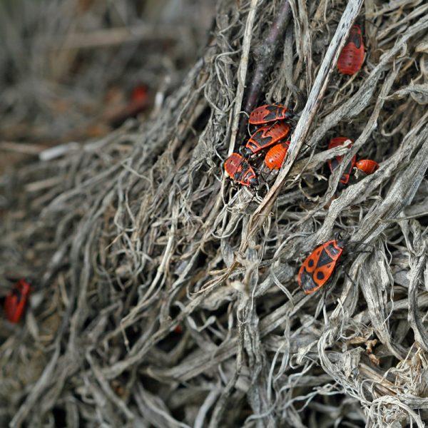 Feuerwanzen © Christine Dobler Gross