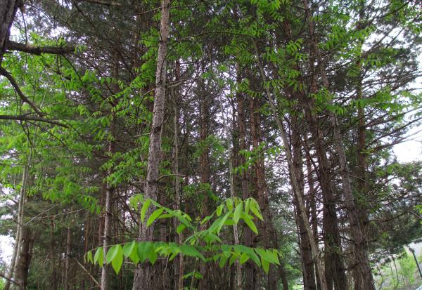 Der Götterbaum dringt in einen Waldbestand ein. | © WSL