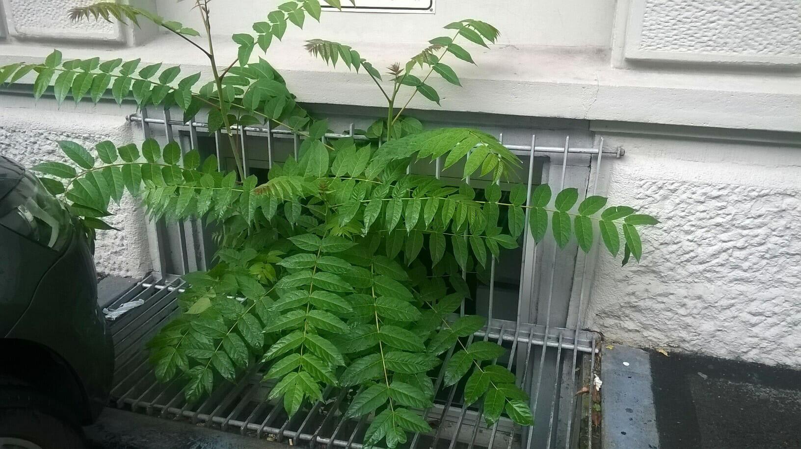 Der Götterbaum ist ein invasiver Neophyt, der Infrastrukturen beschädigt.