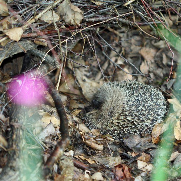 Junger Igel steht vor seinem Nest im Garten.