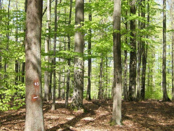 Mischwälder mildern den Klimawandel, weil sie länger und besser Kohlendioxid speichern. © L. Steinacker/TUM