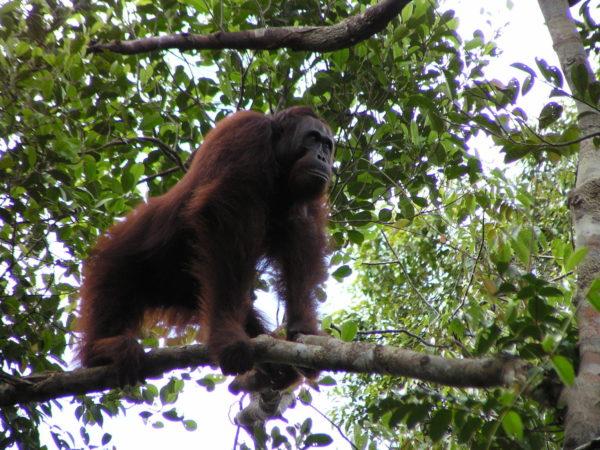 Die Populationen der Orang-Utans haben in den vergangenen Jahren stark abgenommen. © Serge Wich, via iDiv.