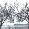 Ein Apfelbaum der Sorte «Roter Sauergrauech» vor und nach dem Schnitt. (Aus: Kunz, J. I. (1945): Der erfolgreiche Pflanzer. Wir Schweizer als Selbstversorger.)