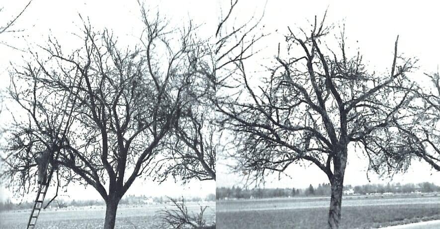 Schnitt eines Obstbaumes.