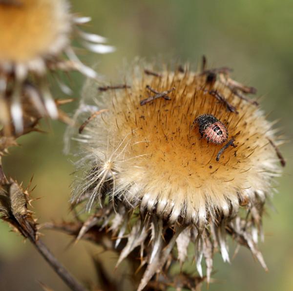 Wanzenlarven auf verblühter Blüte.