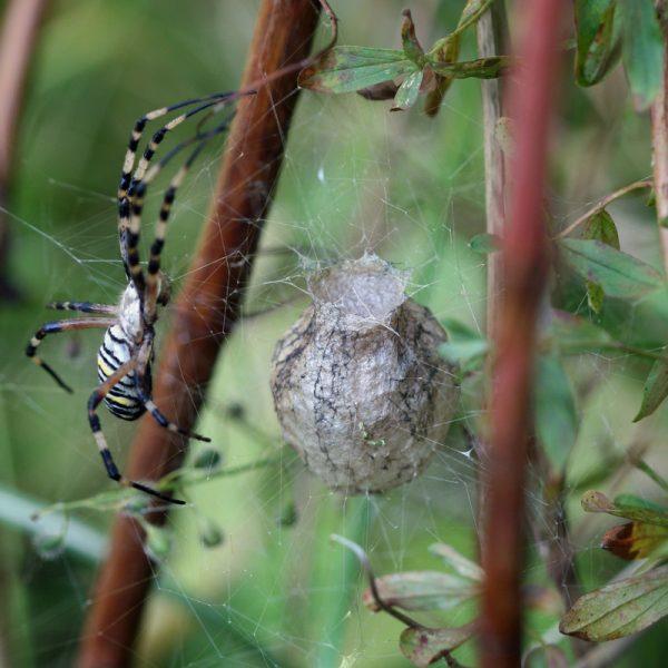 Eine Wespenspinne mit ihrem Cocon.