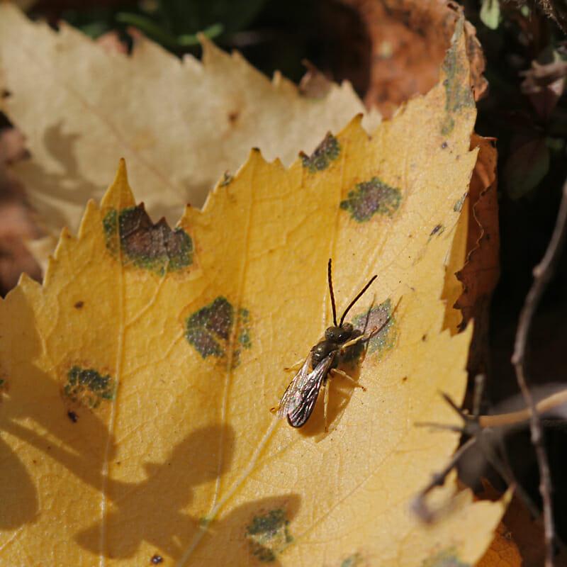 Eine Wildbiene auf einem verfärbten Blatt.