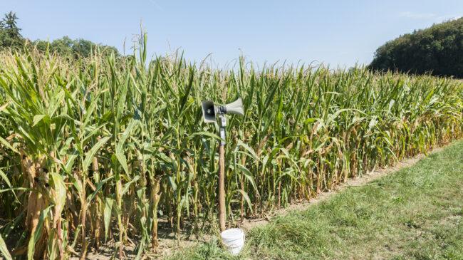 Das Bild zeigt eine Erfindung der ZHAW: Vor einem Maisfeld steht der sogenannte Wildschweinschreck.
