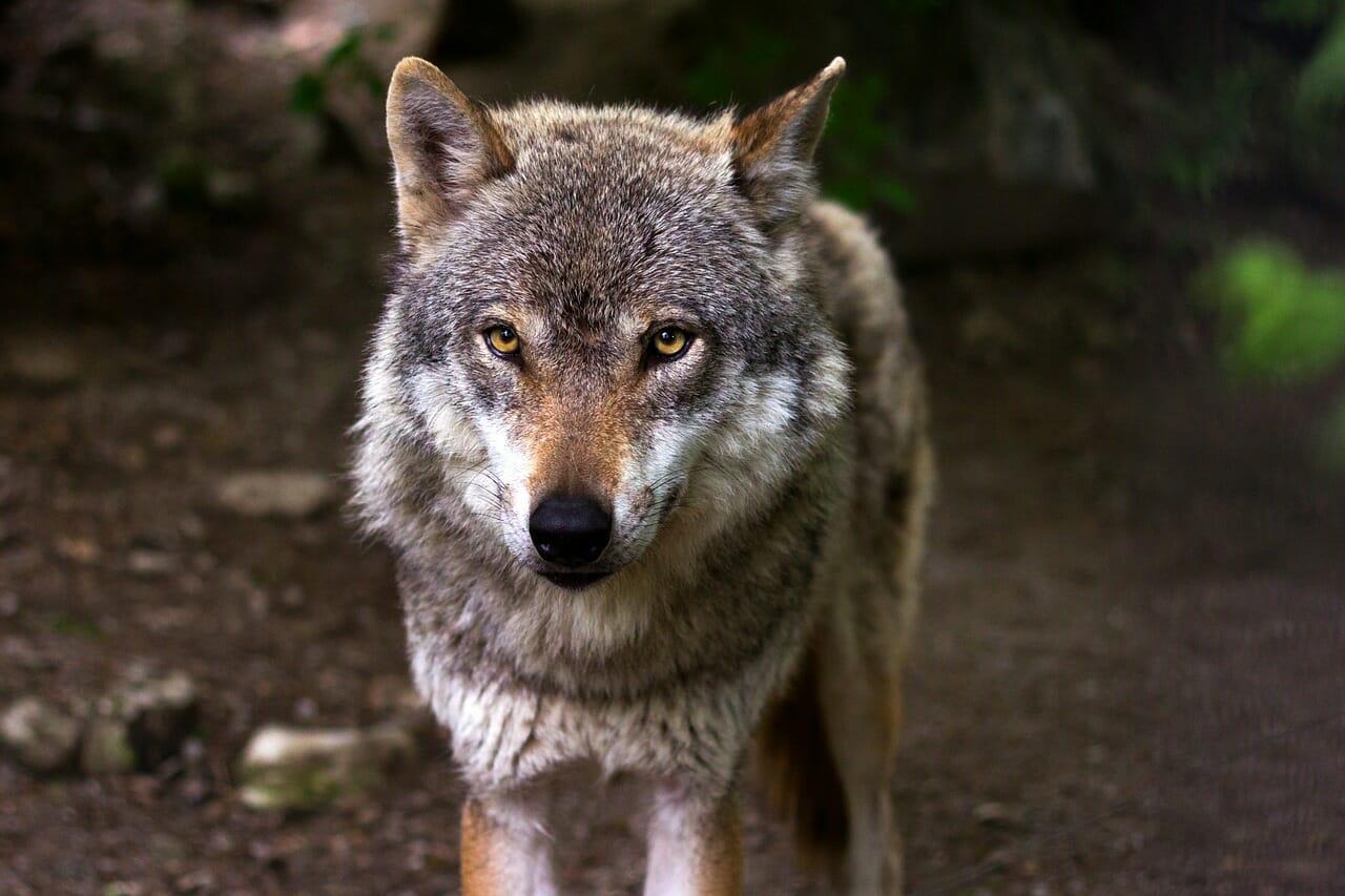 Junger Wolf hatte eine Krankheit und musste erlegt werden.